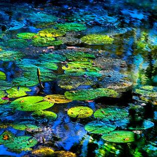 Monet Lilies